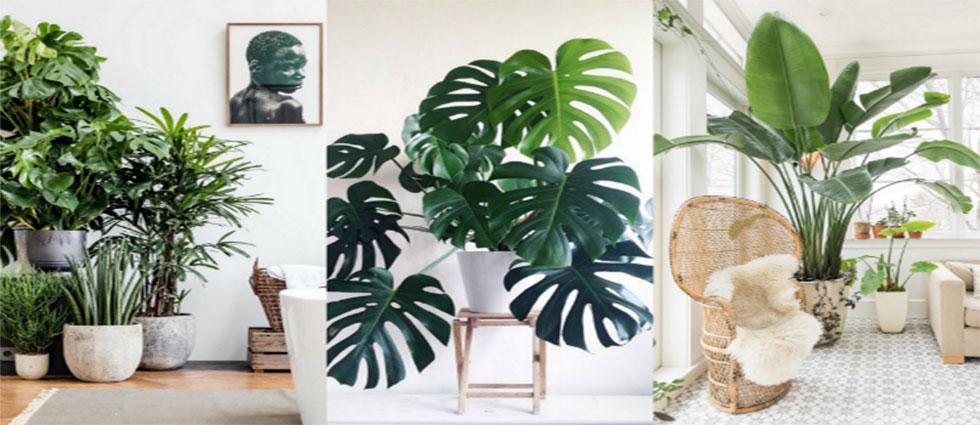 planta monstera deliciosa natural