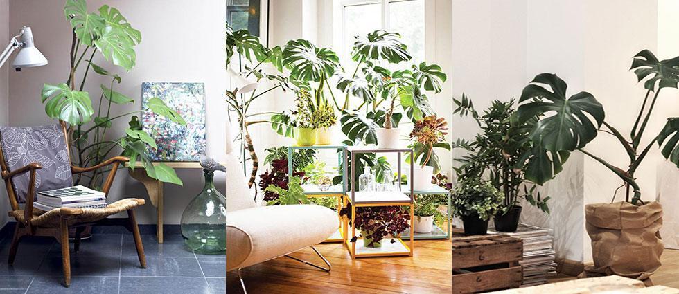 planta monstera deliciosa de moda